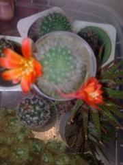 коллекцию кактусов цветущих,  др.комн.раст. для дома и офиса