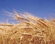 Зерно пшеница,  20 ведер